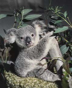 1977 Keepers hand-rear a 7-month-old koala named Gumdrop after his mother passed away.