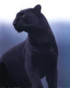 Tynan in his shifted form This is one of my favorite characters I've made. He is a human who shapeshifts into a black panther. Leopard Pictures, Animal Pictures, Beautiful Cats, Animals Beautiful, Beautiful Creatures, Black Animals, Cute Animals, Black Cats, Big Cats