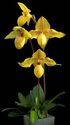 Intra-generic Orchid-hybrid: Paphiopedilum Dollgoldi (Paphiopedilum armeniacum x Paphiopedilum rothschildianum)