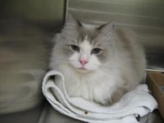 Toby is an adoptable Ragdoll Cat in Hutchinson, KS. I have been around children and do well with them. I am also litter box trained and declawed in the front....