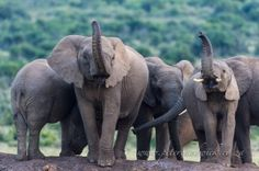 Cautious African Elephants - photo by wildlife and conservation photographer Peter Chadwick;  Two African elephant cows cautiously scent the air with raised trunks, while the rest of the herd huddles in a tight group.  ...   at Addo Elephant National Park, Eastern Cape, South Africa
