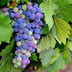 #ESDOR es tan #natural que se formula a base de #polifenoles de #uva tinta de la #RiberadelDuero. Por eso es la #belleza nacida de la #vid. #uvas #grapes #viña #viñas #viñedos #Valladolid #valbuenadeduero #naturaleza #cosmeticaddiction #antioxidantes #fruta #cultivo #cosecha #tinto #vino #nofilter #instaphoto #instagood #fruit #wine #cosmetic #cosmeticos #cosmetica