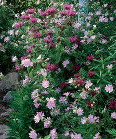 bee balm and mallow,  Lavatera cachemiriana,