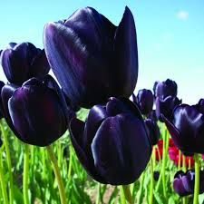 Hot on the heels of snowdrops in the terracotta pot Tulip Queen of Night, pushing their way through from March onwards.