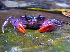 Esta e mais três espécies foram encontradas por especialistas da Alemanha.  Caranguejo roxo vive em água doce.
