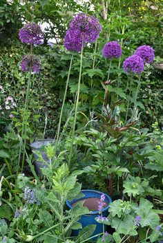 allium with container correct Allotment Plan, Allium, Fingers, Garden Ideas, Heaven, Gardens, Colours, How To Plan, Flower
