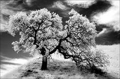 Glowing Oak , California, San Luis Reservoir, Nikon D70-IR; The blue channel, used as black & white