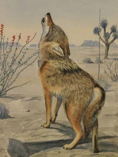Giclee Print: A Painting of a Howling Arizona, or Mearns, Coyote by Louis Agassi Fuertes : 24x18in