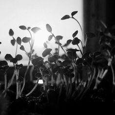 #sunrise #morning #sprouts #herbs #monochrome  #blackandwhite #bw