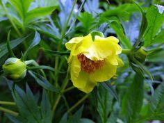 5 Paeonia lutea delavayi ludlowii plugs Yellow Full Hardy shrub Tibet Tree Peony