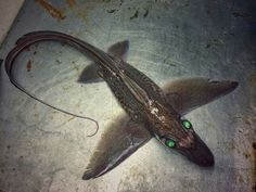 Russian Fisherman Shares Pictures of Most Bizarre Deep-Sea Creatures Deep Sea Creatures, Weird Creatures, Underwater Creatures, Underwater World, Frilled Shark, Fauna Marina, Water Animals, Deep Sea Animals, Deep Sea Fishing