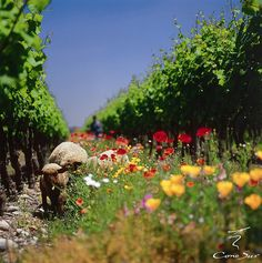 Cono Sur Vineyards Chile by Cono Sur Vineyards & Winery, via Flickr
