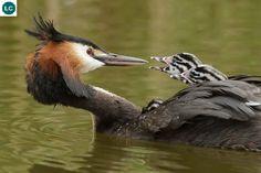 https://www.facebook.com/WonderBirdSpecies/ Great crested grebe (Podiceps cristatus); Europe and Asia; IUCN Red List of Threatened Species 3.1 : Least Concern (LC)(Loài ít quan tâm) || Chim lặn mào lớn; Họ Chim lặn-Podicipedidae (Grebe); châu Âu và châu Á.