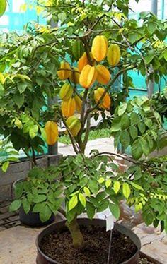Fruit Trees In Containers, Fruit Plants, Fruit Garden, Backyard Plants, Garden Plants, Indoor Lemon Tree, Grafting Plants, Plantas Bonsai, Diy Garden Bed