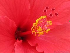 8 Edible Flowers from around the World  4) Hibiscus