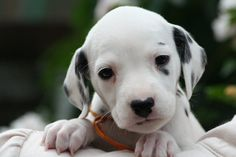 Future firehouse dog! So sweet! Love dalmations!