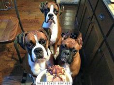 "Three boxer brothers that have to share!"" #dogs #pets #Boxers Facebook.com/sodoggonefunny"