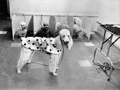 "June At a ""poodle salon"" on First Avenue in Manhattan, a pooch donned a psychedelic raincoat — part of a trend raging in canine circles. New York Police, The Time Machine, Photo Archive, Ny Times, Poodle, Animals, Manhattan, June, Nyc"