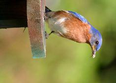 Indiana Backyard Birds   Bluebird 3 XL