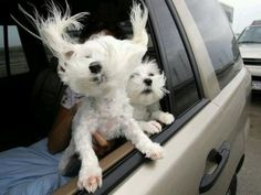Two dogs enjoying the trip Kentucky, Toyota Dealers, New Smyrna Beach, Dog Car, Maltese Dogs, Two Dogs, Magical Creatures, Used Cars, Dog Love