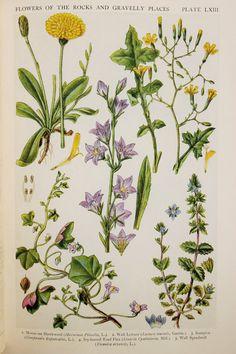Antik Botanikus Print: brit Wild Flowers of Rocks - egérfülben Hawkweed, fali Saláta, Rampion, fali veronika, Ivy Leaved toadflax