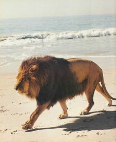 """Paws in the sand // """"he's not a tame lion, you know."""""""
