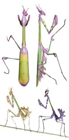 Empusa fasciata, adult and nymphs