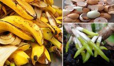 A Casca de Banana é rica em Potássio (K), o que é ótimo para nossas orquídeas pois o potássio auxilia no desenvolvimento celular e aumenta a rigidez de dive