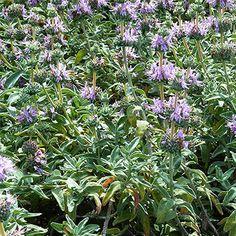 Salvia Deer Garden, Mailbox Garden, Autumn Garden, Summer Garden, Purple Flowers, White Flowers, Cottage Garden Plan, Pineapple Sage, Sun Plants