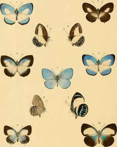 """Image from page 338 of """"Rhopalocera exotica ; being illustraions of new, rare, and unfigured species of butterflies"""" (1887) 