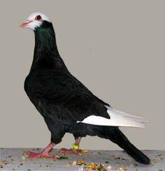 http://upload.wikimedia.org/wikipedia/commons/3/3c/Gier_pigeon%28black_bald%29.jpg