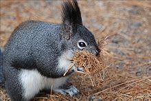 Albert's squirrels build nests similar to bird nests.