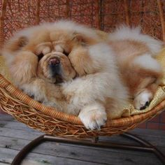Chow Chow in a basket