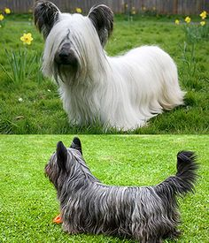 The Skye is very good-natured, loyal, polite, loving and affectionate. Skye Terrier, Terriers, Terrier Breeds, Scottish Terrier, Small Dog Breeds, All Dogs, Dog Pictures, Horses, Pets