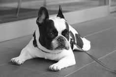 French Bulldog Chikuwa by solutionsoap, via Flickr