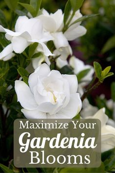 There is nothing so fragrant as the perfume of a gardenia shrub in bloom, enticing those nearby to linger in the garden. But, these Southern charmers are a bit bashful, sometimes needing some coaxing to flower. The following tips will help you keep your gardenias blooming year after year. #gardenias #southernliving #summerblooms Hydrangea Garden, Hydrangeas, Organic Mulch, Organic Gardening, Gardenias, Water Plants, Gardening For Beginners, Garden Planning, Hedges