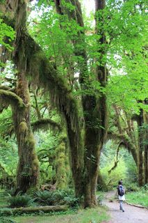 Hike the Hall of Mosses Trail (1,2 km) at Olympic NP - USA
