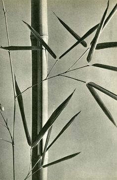 "Hein Gorny (German, 1904-1967). ""Bambous"". Original vintage photogravure. c1935."