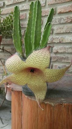 Stapelia gigantea amarilla (looks like a demogorgon) Weird Plants, Unusual Plants, Rare Plants, Exotic Plants, Succulents In Containers, Cacti And Succulents, Planting Succulents, Planting Flowers, Strange Flowers