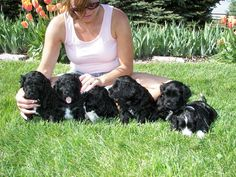 portugese water dog | Pili Lani Portuguese Water Dogs