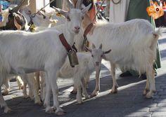 Cabras / Goat www.pyrosespectaculos.tk