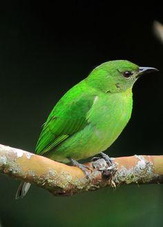 Chlorophanes spiza / Mielero verde / Green Honeycreeper (female)   by felixú