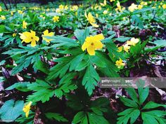 Stock Photo : Close-Up Of Yellow Wood Anemone Flowers Wood Anemone, Anemone Flower, Flowers, Any Images, Still Image, Royalty Free Images, Close Up, Apple, Stock Photos