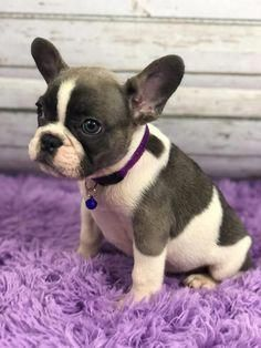 Luxurious French Bulldogs Luxuryfrenchbulldogs Instagram Posts