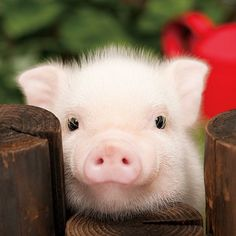 Fuzzy baby pig.
