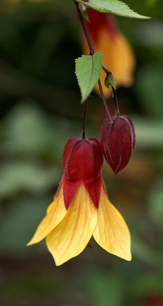 Abutilon - This plant is called Chinese Bell Flower, Chinese Lantern, Mallow, Indian Mallow and Flowering Maple