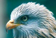 Tête d'un milan royal Nocturne, Milan Royal, Rapace Diurne, Bald Eagle, Natural Beauty, Birds, Animals, Vulture, Peregrine