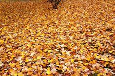 Autumn leaves in Pelion Western Philosophy, Political Science, Ancient Greece, Greek Islands, World Heritage Sites, More Photos, Santorini, Autumn Leaves, Nature