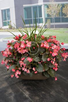 BIG Begonias @Benary