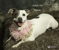 Pictures of Gracie a Pit Bull Terrier for adoption in Acton, CA who needs a loving home.